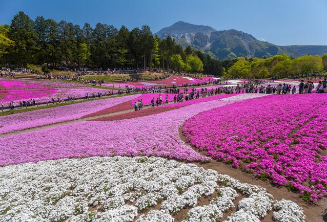 羊山公園 芝桜の丘 image